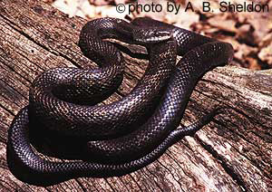 Gray (black) Ratsnake