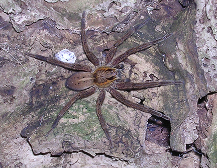 Fisher Spider, Photo Credit: Dave Houston\Department of Conservation