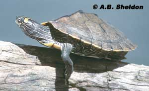 Southern Map Turtle
