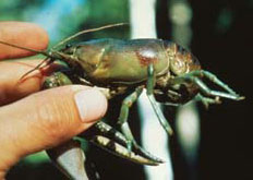 Person holding Rusty Crayfish