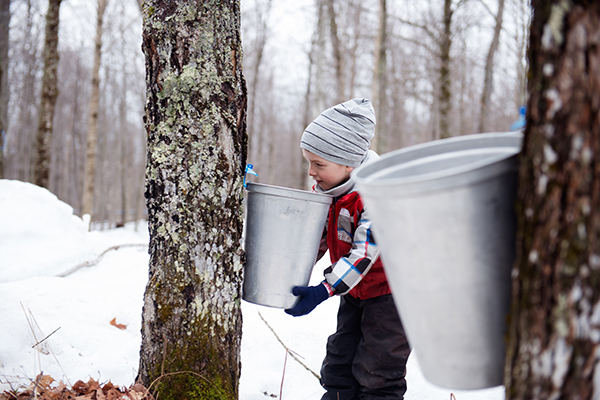Tapped maple tree with little boy holding a bucket