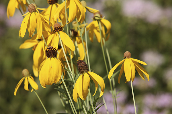 Close up of Prairie Coneflower