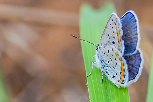 Karner blue butterfly on a leaf