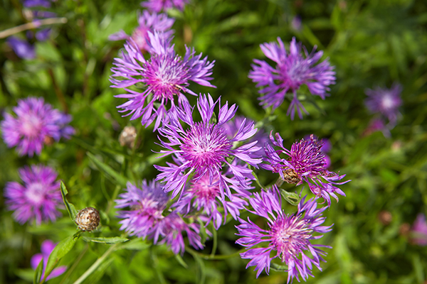 Knapweed close-up in field