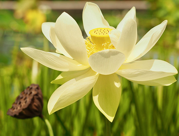 Yellow lotus in bloom