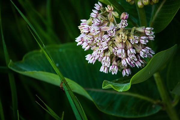 Milkweed in the forest