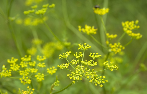 Wild Parsnip in field