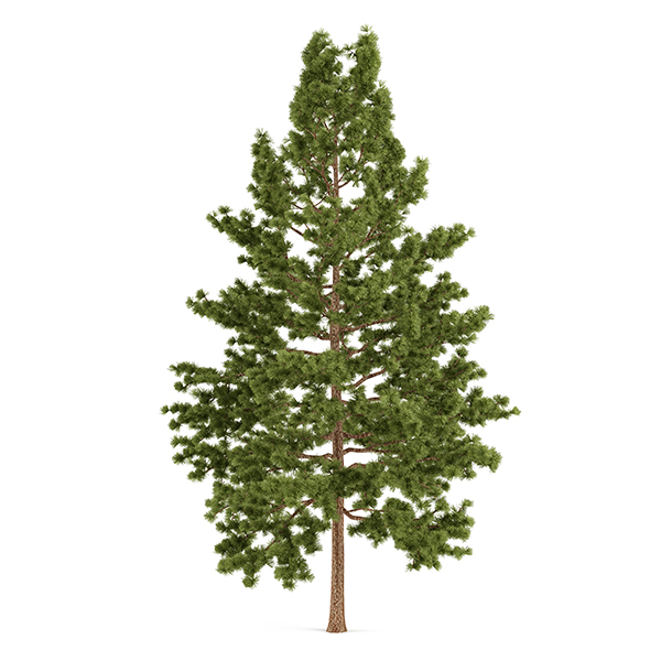Eastern White Pine  Tree isolated on white background