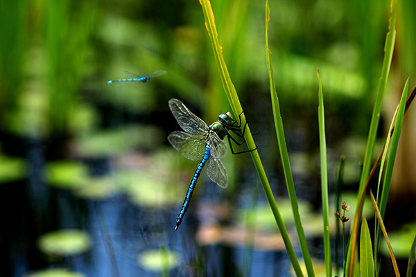 Two dragonflies at a pond