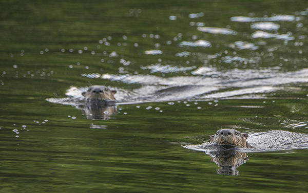 Otters in water