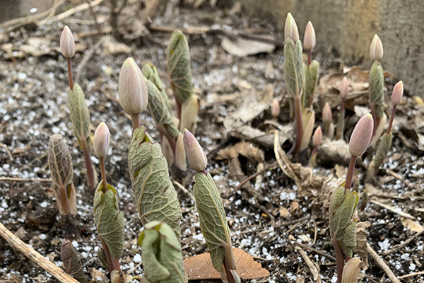 Bloodroot blooming in early spring