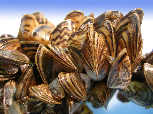 Zebra Mussels, Photo Credit- U.S. Fish & Wildlife Service.