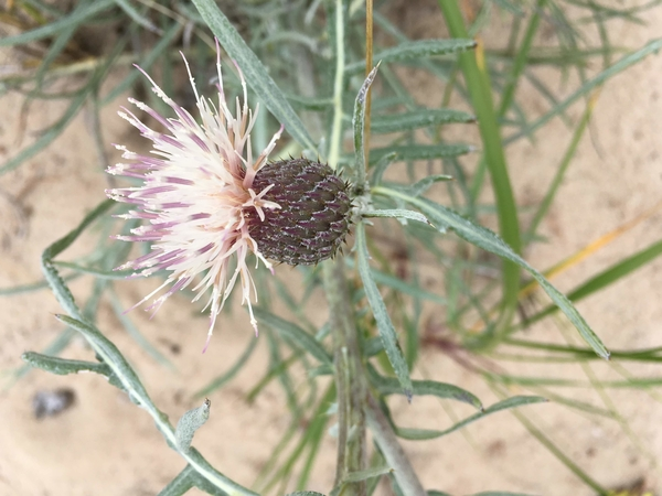 Dune Thistle, Photo Credit: Samara Hamze