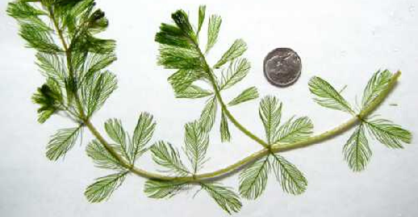 Eurasion Water-Milfoil on white background, Photo Credit: Flora of Wisconsin, Paul Skawinski, CC BY-SA