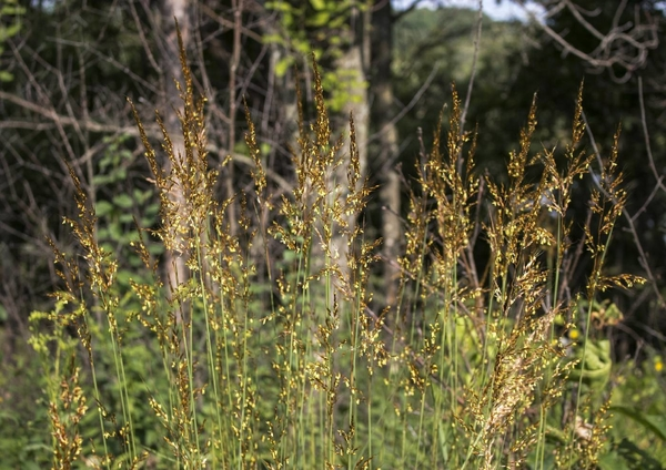 Indian Grass, Photo Credit- Flora of Wisconsin, Aaron Carlson, CC BY-SA