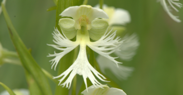 Prairie White-Fringed Orchid Close Up, Photo Credit: Joshua Mayer, CC-BY-SA 3.0