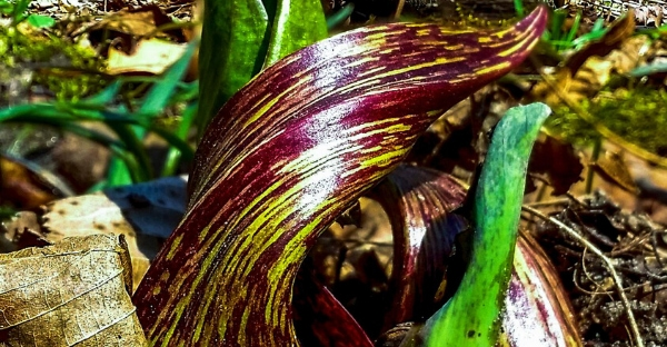 Close up of Skunk Cabbage, Photo Credit: Flora of Wisconsin, Aaron Carlson,  CC-BY-SA.png.jpg