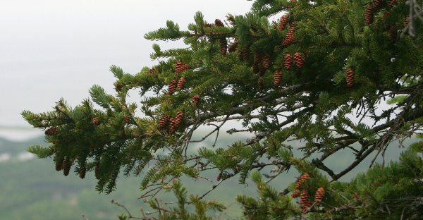 White Spruce, Photo Credit: Steven Isaacson CC-BY-SA 3.0